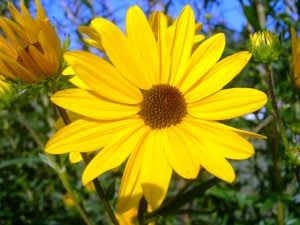 Swamp Sunflower on Steroids!