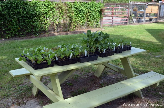 transplants for a fall garden