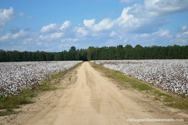 dirt road in a cotton field