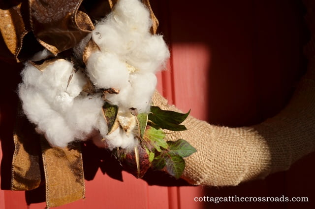 opened bolls of cotton