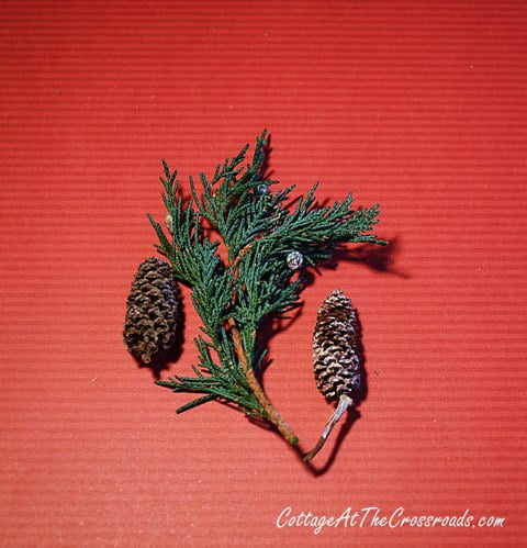 miniature pine cones and preserved juniper
