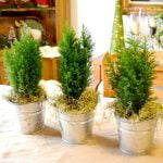 cypress trees in galvanized buckets