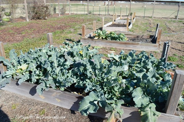 broccoli grown in raised beds