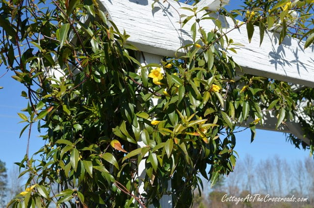yellow jessamine growing on the garden arbor