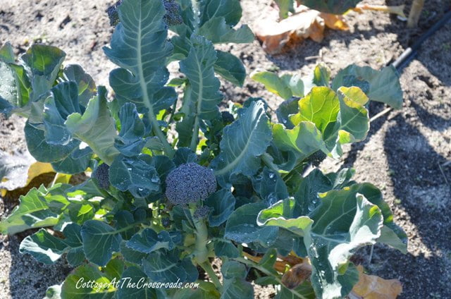 broccoli growing in the garden