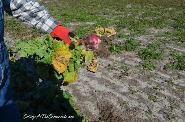 overgrown radishes