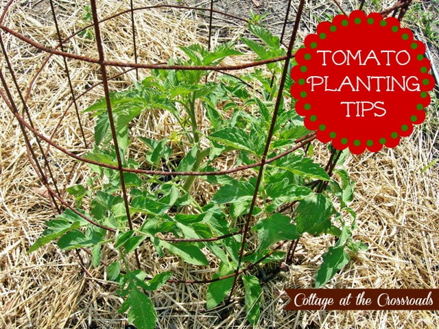 Our Tomato Planting Tips Cottage At The Crossroads