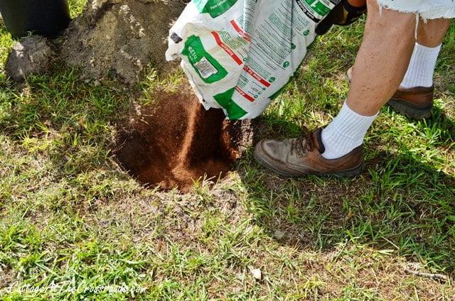 planting a privet hedge