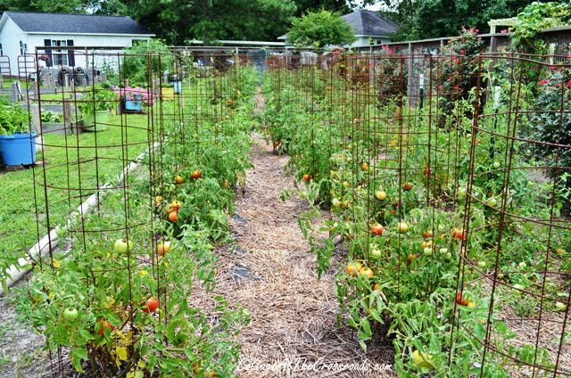 red, yellow, and green tomatoes growing in my garden