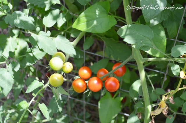 Sweet 100 cherry tomatoes