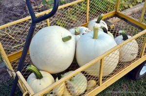 White Pumpkin Reflections