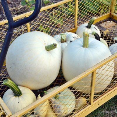growing white pumpkins