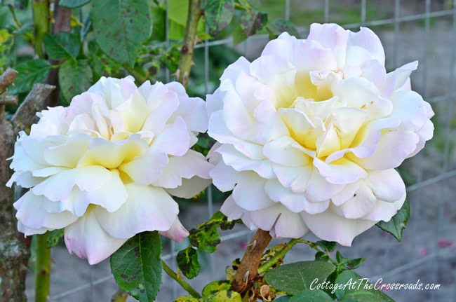 Peace climbing rose | Cottage at the Crossroads