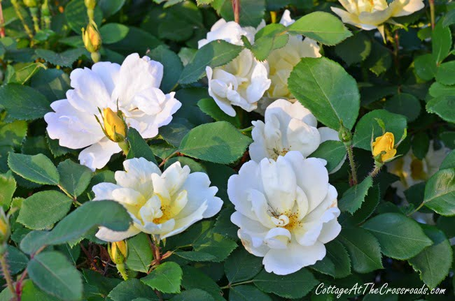 Yellow Knockout Roses   Cottage at the Crossroads