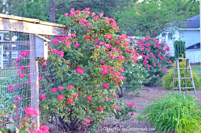 Blooming Knockout Roses | Cottage at the Crossroads