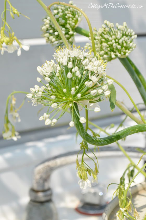 onion flower | Cottage at the Crossroads