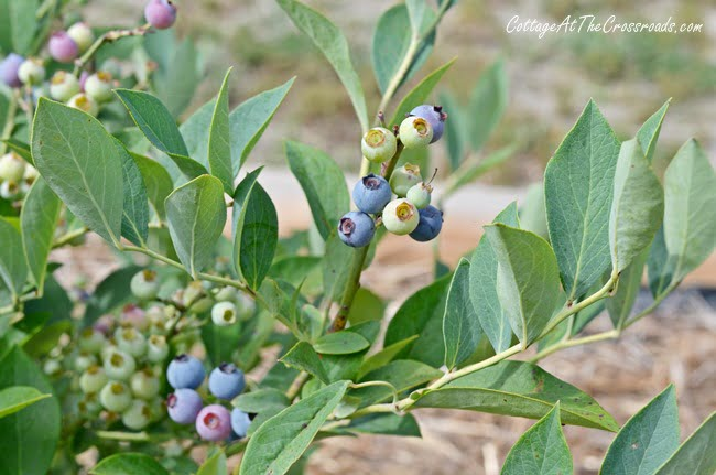 blueberry bush | Cottage at the Crossroads