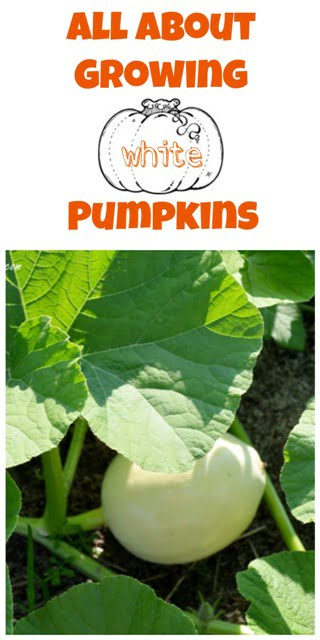 All About Growing White Pumpkins | Cottage at the Crossroads