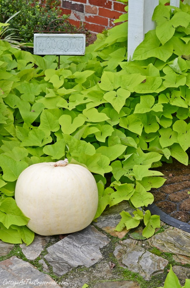 white pumpkin and sweet potato vine | Cottage at the Crossroads