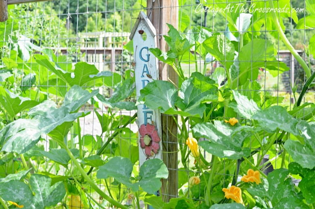 gourds growing in the garden   Cottage at the Crossroads