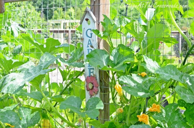 gourds growing in the garden | Cottage at the Crossroads