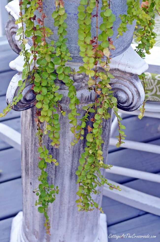 Creeping jenny | Cottage at the Crossroads