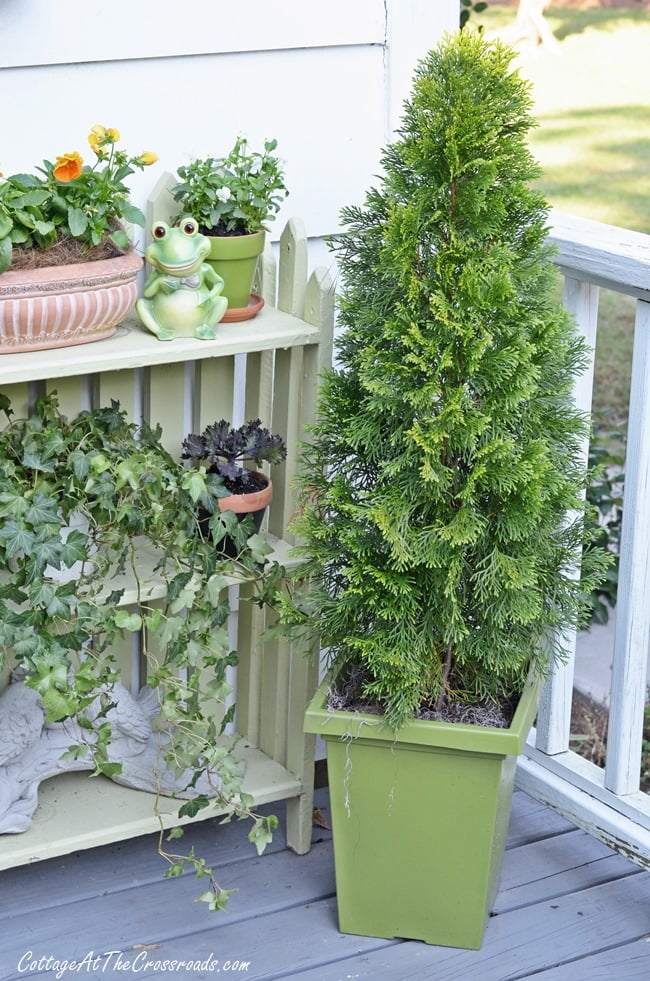 cedar tree in a container | Cottage at the Crossroads