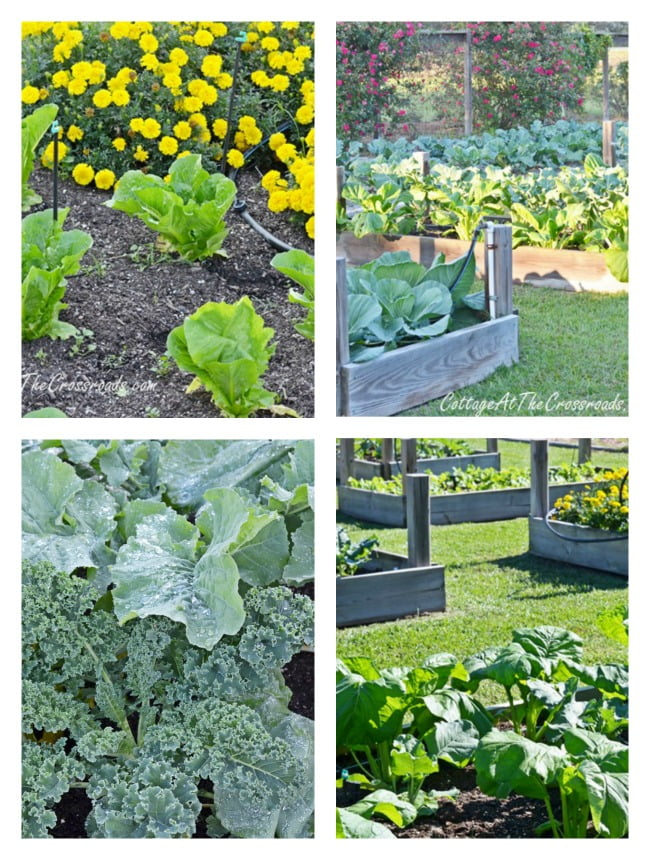 Fall Vegetables in Raised Beds | Cottage at the Crossroads
