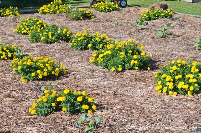 Marigolds in the Vegetable Garden | Cottage at the Crossroads