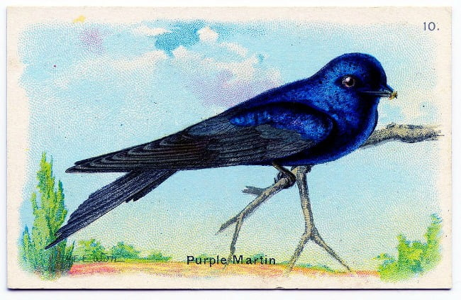 Purple Martin | Cottage at the Crossroads