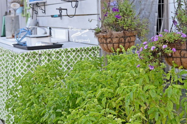 Herb Growing Tips | Cottage at the Crossroads