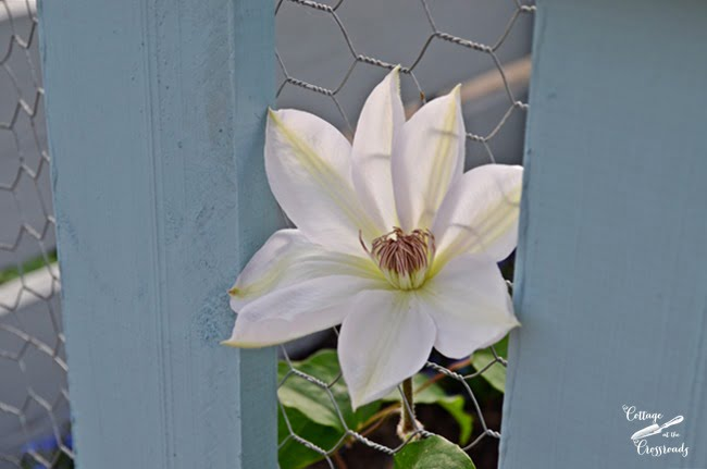 white clematis | Cottage at the Crossroads