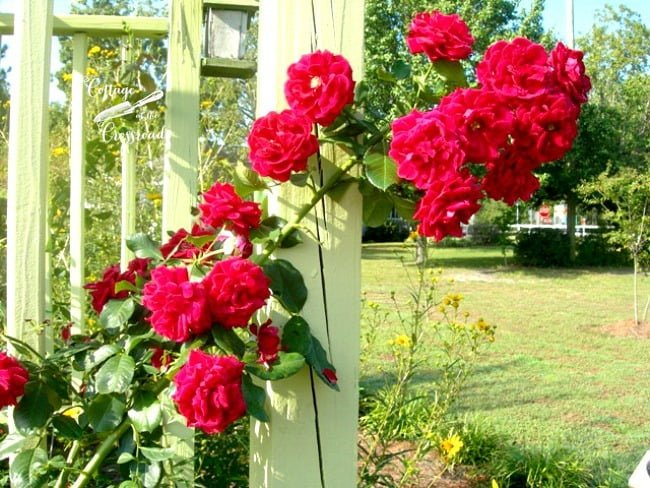 Don Juan climbing roses on the arbor | Cottage at the Crossroads