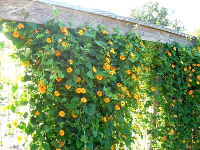 black eyed Susan vine | Cottage at the Crossroads
