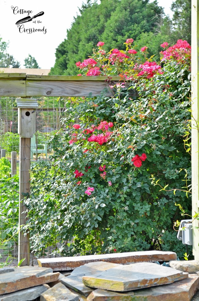 Knock out roses on a fence | Cottage at the Crossroads