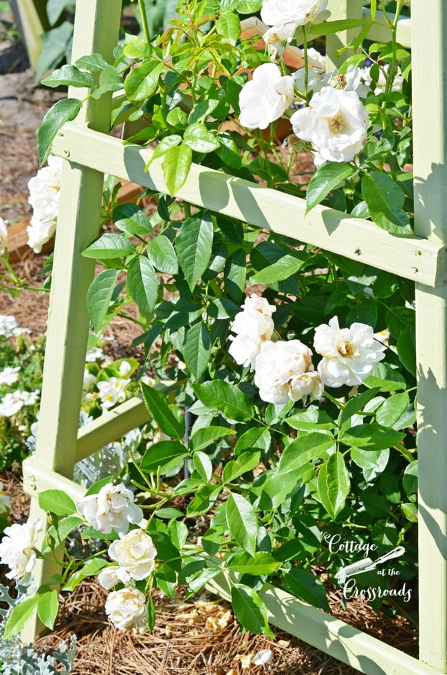 "white ""Iceberg"" climbing roses grown on a DIY obelisk 