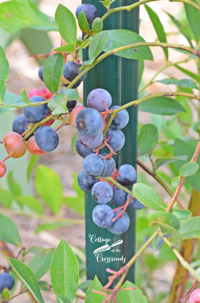 How to Grow Blueberries | Cottage at the Crossroads