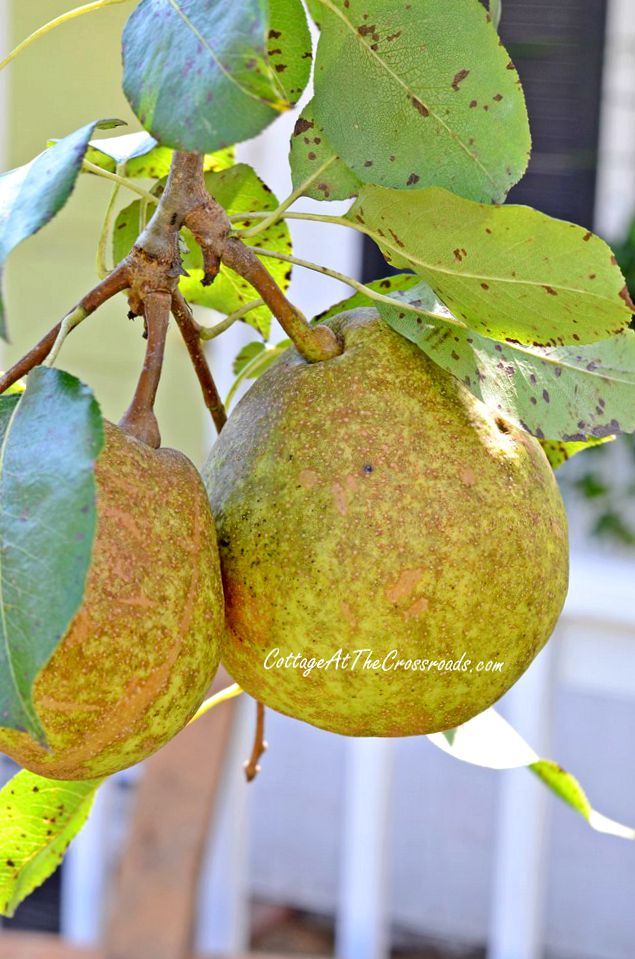 Moonglow pears | Cottage at the Crossroads