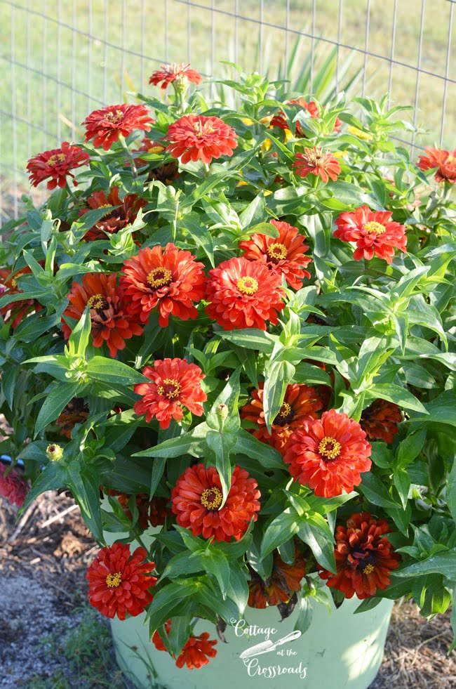 zinnias in the garden | Cottage at the Crossroads