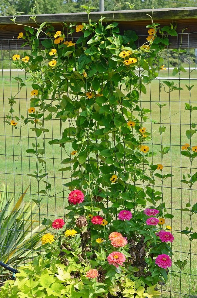 zinnias in our garden | Cottage at the Crossroads