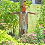 Rusty the scarecrow guarding the zinnias in the garden