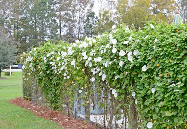 morning glories planted along a garden fence | Cottage at the Crossroads