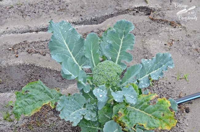 broccoli growing in the garden | Cottage at the Crossroads