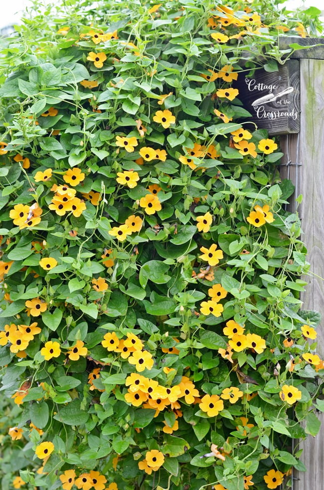 black eyed Susan vine growing on a fence | Cottage at the Crossroads