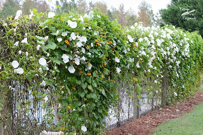 morning glories growing on a fence | Cottage at the Crossroads