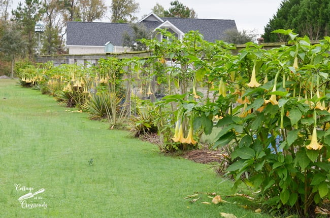 angel's trumpets planted along the garden fence | Cottage at he Crossroads