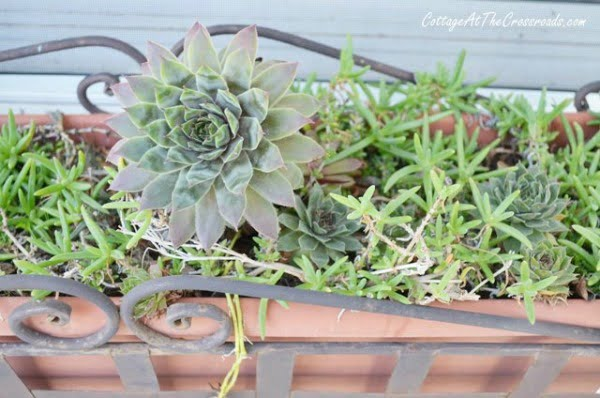 succulents growing in a planter