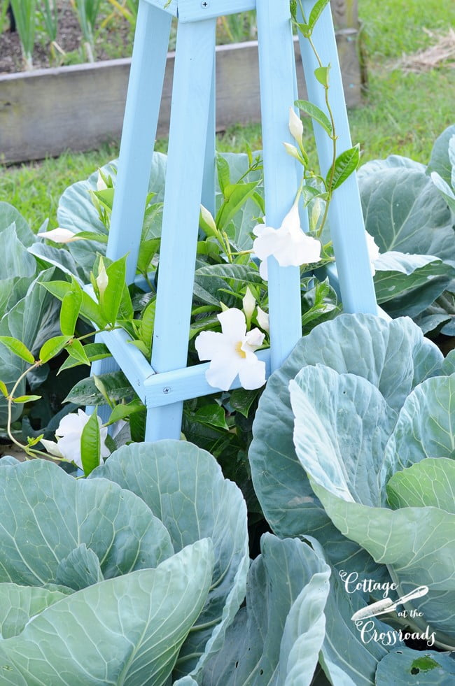 cabbages in raised beds