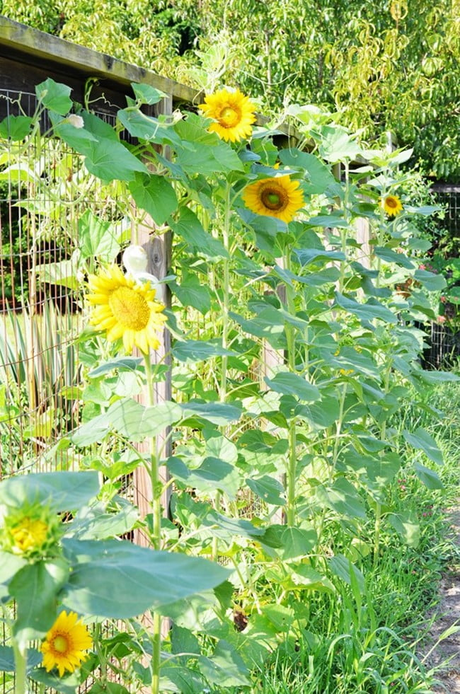 sunflowers and gourds growing on the garden fence