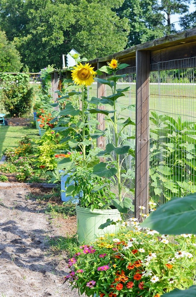 sunflowers and zinnias in the garden